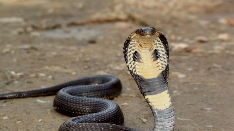 kompra-kobra-fidi